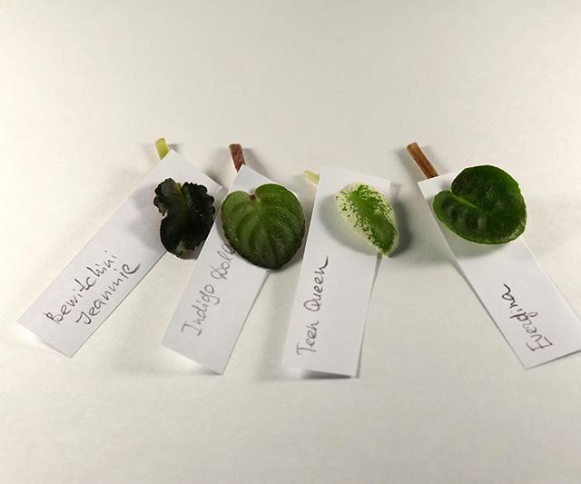 Укоренение листочков миниатюрных фиалок Img_3372_640