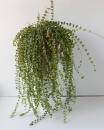 Дисхидия Рускусолистная (Dischidia ruscifolia)