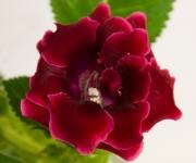 Красная Роза (усл.)