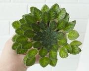 Петрокосмея Rosettifolia