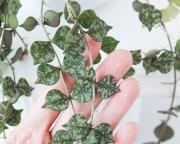 Хойя Куртизи ( Hoya curtisii )