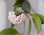 Хойя Карноза ( Hoya Carnosa )