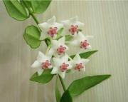 Хойя Белла ( Hoya lanceolata ssp. bella )
