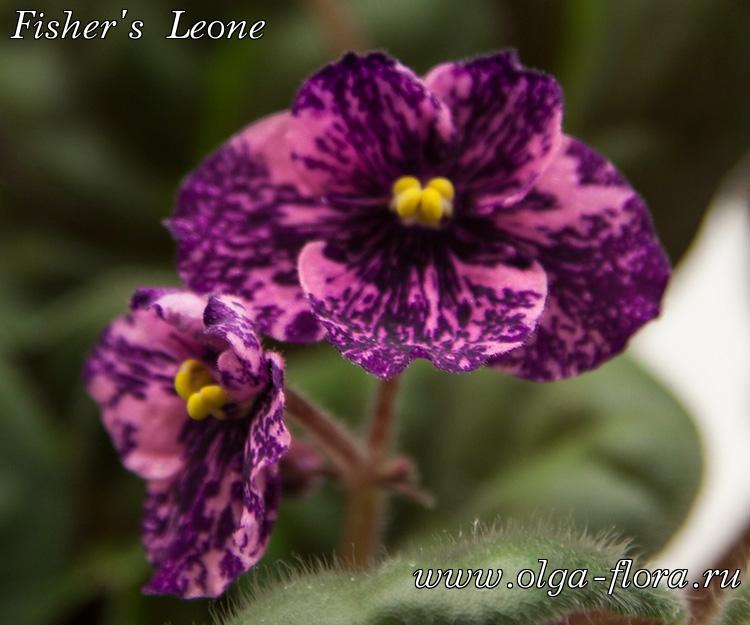 Fisher's Leone (Fisher) 852yeldezpcs38stoc1eq9pibdqt9ffg
