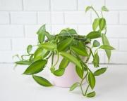 Орхидея Ваниль Вариегатная