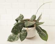 Хойя Каудата (Hoya caudata)