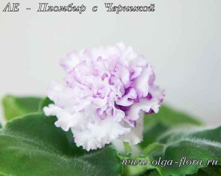 ЛЕ - Пломбир с Черникой (Лебецкая)  Airlc1o9brw0zftojisfteub763w3gkd