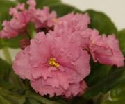 ЕК – День Роз