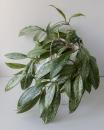 Хойя Публикаликс Химера ( Hoya Pubicalyx 'Chimera' )