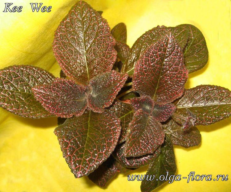 Фото комнатных цветов на листьях красные прожилки 41