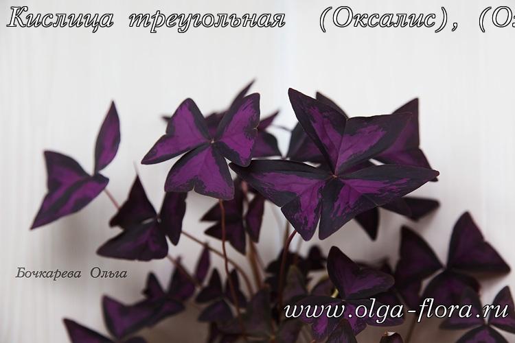 Оксалис (кислица) Exqwfp9yu51a0970sgvdmcaqywjpbs4q
