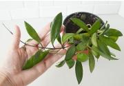Хойя Давида Каминга (Hoya davidcummingii)