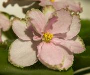 ЛЕ – Мраморный Цветок