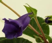Тидея фиолетовая