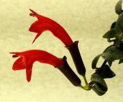 Эсхинантус Twister (кудрявый)