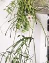 Хойя Ретуза ( Hoya Retusa )