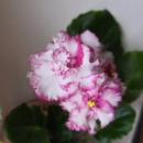 АВ - Подмосковная Роза