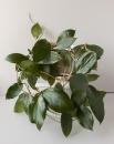 Хойя Пурпуреофуска ( Hoya Purpureofusca )