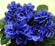 Ness' Crinkle Blue