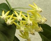 Хойя Мультифлора ( Hoya Multiflora )