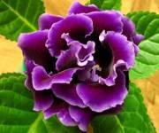 Mister Violet