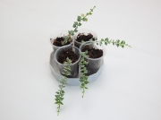 Дисхидия Рускусолистная вариегатная (Dischidia ruscifolia Var)