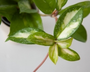Хойя Карноза Триколор Сплеш (Hoya Carnosa Tricolor splash)