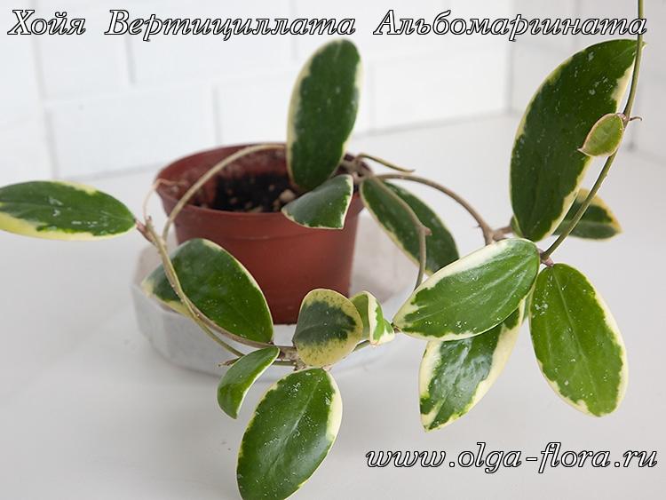 Хойя Вертициллата Альбомаргината (Hoya Verticillata Albomarginata) Xjjo2n3pff8bxu8oa5q47t1wmbrnwo1t